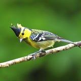 Female Yellow-cheeked Tit Stock Photos