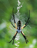 Female Yellow Garden Spider. (Argiope aurantia), entire dorsal view.  Several frames and focal planes stitched together for greater depth of field.  Shot at Royalty Free Stock Photos