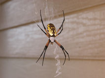 Female Yellow Garden Spider in Web Stock Image