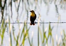 Female yellow headed blackbird. Saskatchewan Stock Images