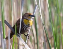 Female Yellow-headed Blackbird. Photograph of a female Yellow-headed Blackbird straddling a couple of cattails stalks in a wetland stock photography