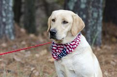 Yellow Labrador Retriever Dog with American Flag Bandana. Female Yellow Lab Retriever Dog sitting with American Flag Bandana on red leash in pine tree woods Royalty Free Stock Photography
