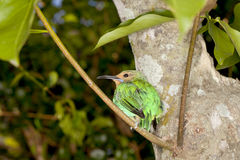 Female Yellow-legged Honeycreeper Stock Photo