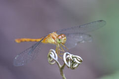 Female Yellow-legged Meadowhawk Stock Photos