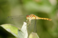 Female Yellow-legged Meadowhawk Stock Photo