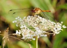 Female Yellow-legged Meadowhawk Royalty Free Stock Image