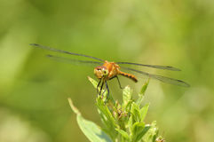 Female Yellow-legged Meadowhawk Royalty Free Stock Image