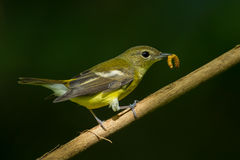 Female yellow-rumped flycatche. (Ficedula zanthopygia)  with worm in her nount in nature of Thailand Stock Image