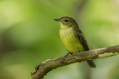 Female yellow-rumped flycatcher. (Ficedula zanthopygia) catch on the branch in nature of Thailand Royalty Free Stock Photography