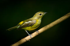Female yellow-rumped flycatcher Stock Photos