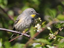 Female Yellow-rumped Warbler Royalty Free Stock Photo