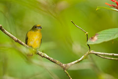 Female Yellow-Throated Euphonia Royalty Free Stock Photos