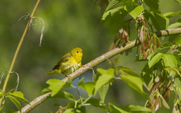 Female Yellow Warbler Royalty Free Stock Images