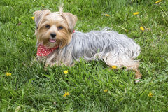 A Female Yorkie Sitting on Grass in the Spring Royalty Free Stock Images
