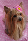 Female Yorkshire-Terrier. Yorkshire-Terrier wearing a big pink flower barrette, pink and white polka dot background Royalty Free Stock Photos