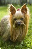Female Yorkshire terrier dog. Outdoor portrait of female Yorkshire terrier Stock Photography