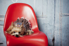 Female Yorkshire Terrier dog. Little female Yorkshire Terrier dog on a red chair Stock Photos