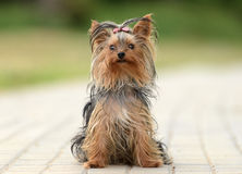 Female Yorkshire Terrier dog. In a pathway Stock Photos