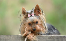 Female Yorkshire Terrier dog. Is playing with a stick Royalty Free Stock Photo