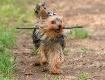 Female Yorkshire Terrier dog. Is playing with a stick Royalty Free Stock Images