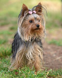 Female Yorkshire Terrier dog. Stands in a park Stock Image