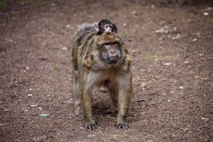 Female with young Barbary Ape, Macaca Sylvanus, Atlas Mountains, Morocco Stock Images