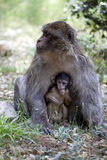 Female with young Barbary Ape, Macaca Sylvanus, Atlas Mountains, Morocco Royalty Free Stock Image