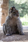 Female with young Barbary Ape, Macaca Sylvanus, Atlas Mountains, Morocco Royalty Free Stock Photo