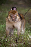 Female with young Barbary Ape, Macaca Sylvanus, Atlas Mountains, Morocco Royalty Free Stock Images