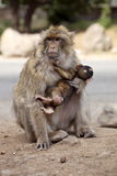 Female with young Barbary Ape, Macaca Sylvanus, Atlas Mountains, Morocco Royalty Free Stock Photos