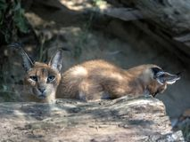 Female with young Caracal, Caracal caracal stock photo