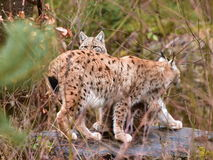 Female and young cub of lynx Stock Photo