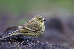Female or young European Serin sits on the ground royalty free stock photo