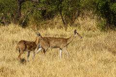 Female and young Lechwe. Red Southern Lechwe antelopes, a fine specimen males have long magnificent horns Stock Photo