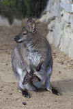 Female with young in a pouch, Bennett's wallaby, Macropus rufogriseus Stock Images