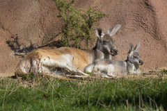 Female with young, Red Kangaroo, Megaleia rufa Royalty Free Stock Image
