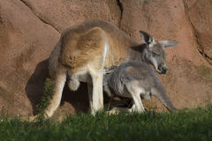 Female with young red kangaroo, Megaleia rufa Royalty Free Stock Images