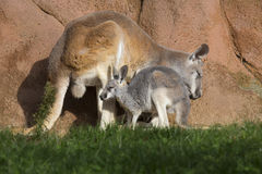 Female with young red kangaroo, Megaleia rufa Stock Photos