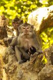 Female with young Rhesus monkey Macaca fascicularis, Lombok, Indonesia Royalty Free Stock Photos