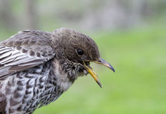 Female young  ring ouzel closeup Stock Photo