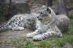 Female with young, snow leopard, Uncia uncia. The female with young, snow leopard, Uncia uncia Royalty Free Stock Photo