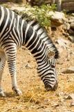 Female Zebra Stock Photo