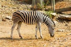 Female Zebra Stock Photography