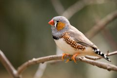 Female zebra finch Royalty Free Stock Images