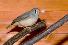 Female Zebra Finch Stock Images
