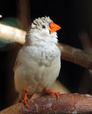 Female of Zebra finch Taeniopygia guttata. Closeup royalty free stock image