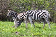 Female Zebra and Foal in Grassland of Nature Reserve Royalty Free Stock Photos