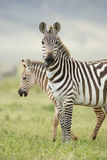 Female Zebra with Foal, Tanzania. A female Zebra with her foal in the Ngorongoro Crater in Tanzania Royalty Free Stock Images
