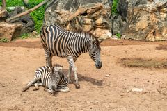 A female zebra is standing next to her female foal stock photography