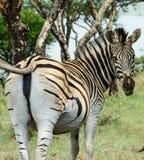 Female Zebra Stock Photos